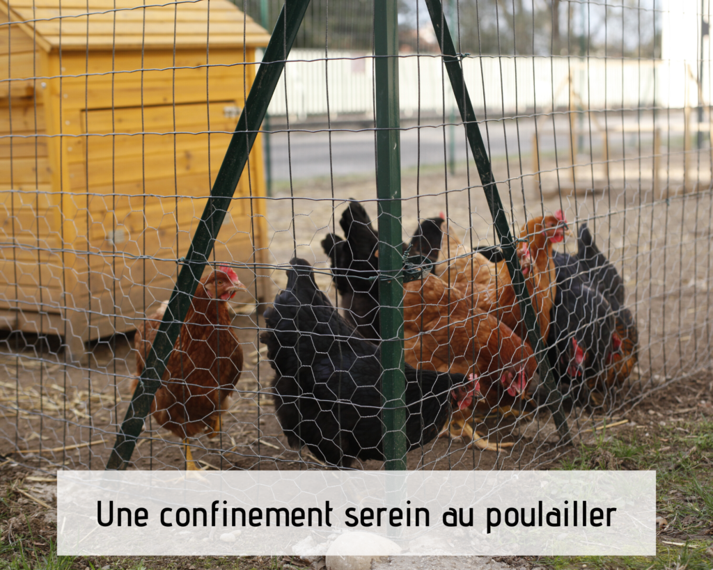 Une confinement serein au poulailler